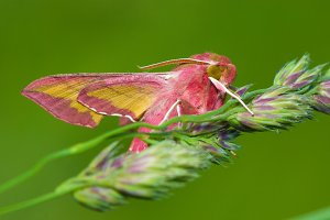 Pink moth in nature