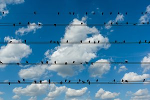 Pigeons on the electrical wires