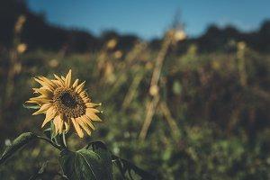 Sunflower on Field in Autumn