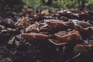Brown Mushrooms on the Forest Floor