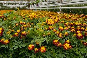 Tagates flowers