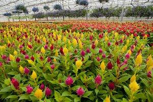 Celosia flower