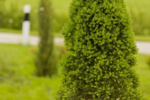 Spruce Conica