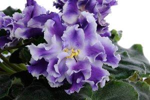 inflorescence violets