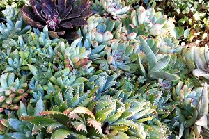 Succulents abundance on garden