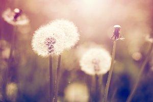 Vintage dandelions