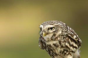 Small owl