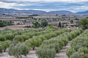 Olive trees fields