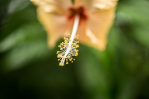 tropical flower Hibiscus
