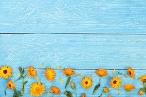 Calendula. Marigold flower on blue wooden background with copy space for your text. Top view