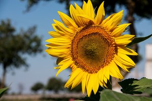 sunflower in the field against the sky