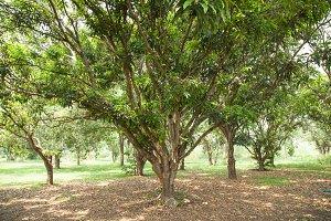 Mango plantation.