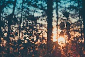 Vintage Hardwood Forest at Sunset