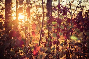 Fall Color Forest at Sunset