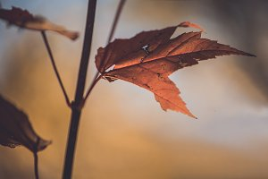 Red Maple in Fall Closeup