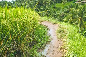 Walking path along rice terrace fields with beautiful blurred coconut palm in background, Ubud, Bali, Indonesia