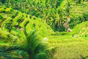 Amazing tegalalang Rice Terrace field covered by beautiful palm trees, Ubud, Bali, Indonesia