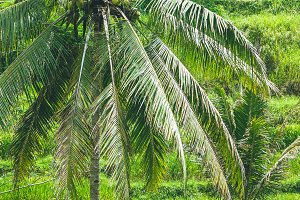 Beautiful Coconut Palm Tree in Amazing Tegalalang Rice Terrace fields, Ubud, Bali, Indonesia
