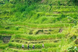 Tourist walking along amazing tegalalang rice terrace cascades fields with beautiful coconut palm trees growing on it, Ubud, Bali, Indonesia