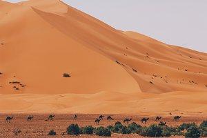 Camelcade at desert lands.