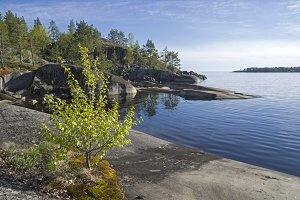 Small birch on the rocky lake shore