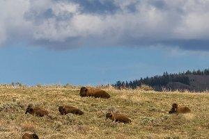 Vertical-Colorado Buffalo