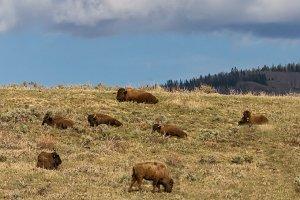 Colorado Buffalo