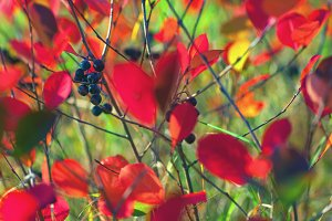 Red leaves in green grass