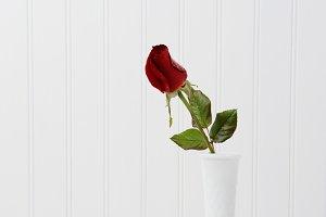 Red Rose Bud on White