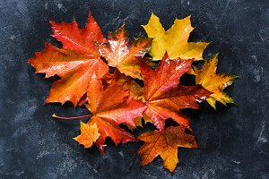 Colorful fallen maple leaves