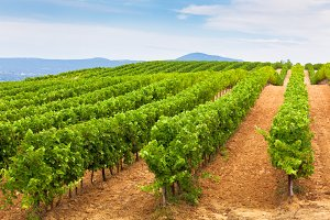 Vineyard Field in Southern France