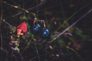 Detail of Dark Blue Berries, Autumn