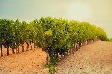 Vineyard Field in sunlight