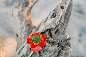 Red flower on an old stump on the beach background. Decoration. Artwork, noise, soft focus