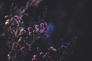 Purple Flowers and Dark Background