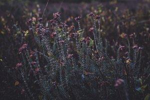 Heather Flowers in Dark Colors