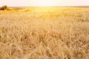 A bright sunny day, a field of wheat on a summer day, a concept of good drinking.