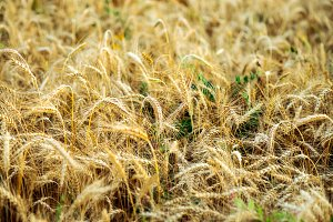 A bright sunny day, a field of wheat on a summer day, a concept of good drinking. Large spikelets, close-up.