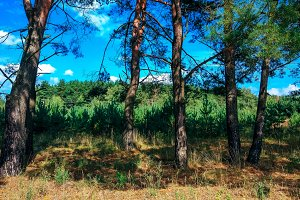 A bright sunny day in a pine forest. trees. In summer park.