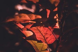 Closeup of Autumn Leaves (Vintage)