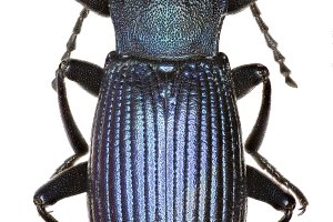 Darkling Beetle Helops