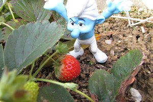 Grumpy finds strawberries