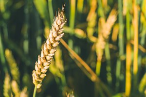 Close up of wheat ears in a green field