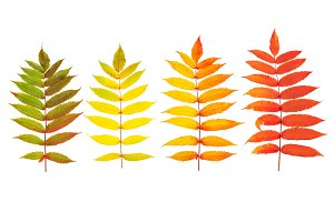 Red green yellow autumn tree leaves