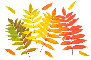 Red green yellow autumn leaves