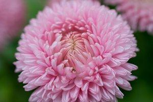 Rosé Flower