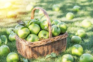 Apple harvest. Ripe green apples