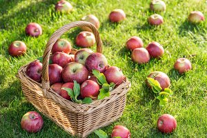 Apple harvest. Ripe red apples