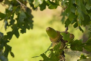 Acorns and leafs