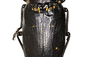 Metallic Wood-Boring Beetle